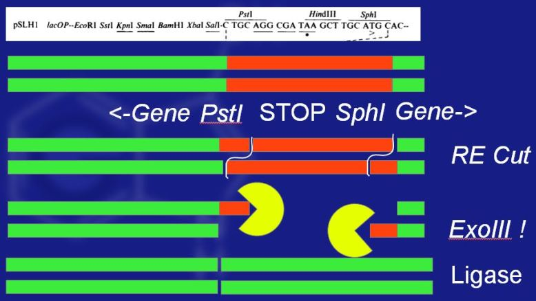 Deletion of stop codon