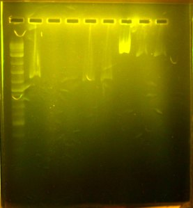 lanes numbered from right to left.  2% agarose gel, with safe gel stain